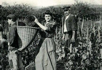 Champagne Varnier-Fanniere historická práca vo vinici
