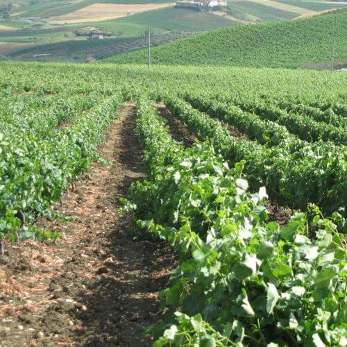 Costantino vinica