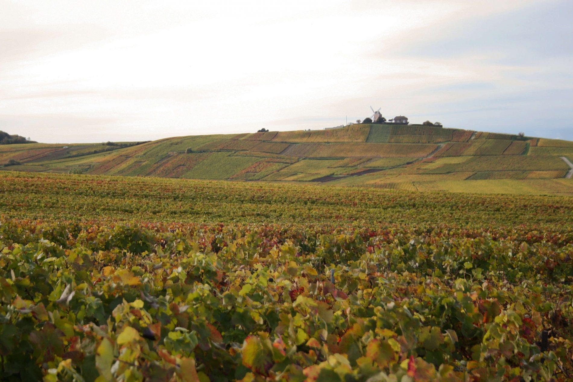 Champagne Virginie T. vinice